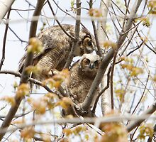 Great Horned Owls #2 - Mama and Owlet by DigitallyStill