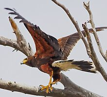 0502092 Harris Hawk by Marvin Collins