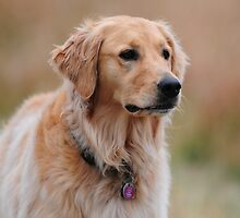 My Beautiful Golden - Shasta by DThiessen