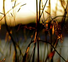 reeds by Nelson  Ramm