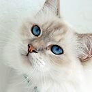 Those Blue Eyes by Renee Hubbard Fine Art Photography