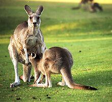 Kangaroos by MartineDF
