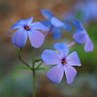Creeping Blue Phlox by Richard G Witham