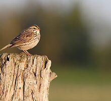 Savannah Sparrow. by DigitallyStill