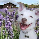 Eddie at the lavender farm by Matt Mawson