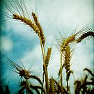 harvest time again by waitin' for rain