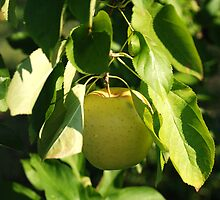 Golden Apple by rabeeker