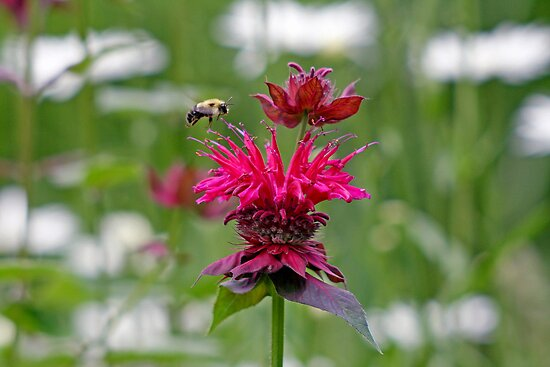 Bee Balm by Paul Kavsak