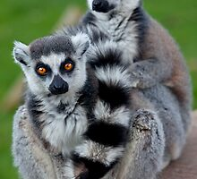 Loveable Lemurs by Krys Bailey