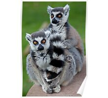 No Scarf Required... (Ring-Tailed Lemurs) Poster