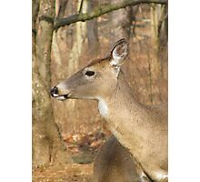White Tail Deer Profile Photographic Print