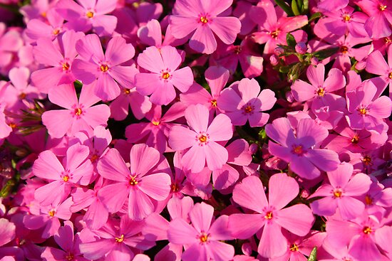 Creeping Phlox by Rachel Stickney