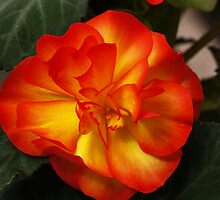 Orange Begonia by BigD