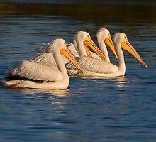050909 American White Pelicans by Marvin Collins