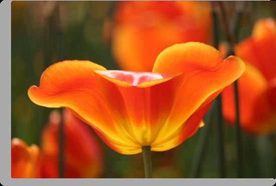 Tulip by Jeanne Horak-Druiff