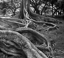 Moreton Bay Fig  by Richard Cano