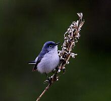 Blue Gray Gnatcatcher by John Absher