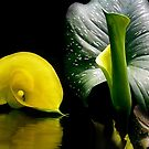 Zantedeschia Elliottiana by Carmen Holly