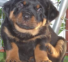 A Little Tickle - Rottweiler Puppy by taiche
