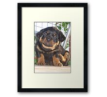 A Little Tickle - Rottweiler Puppy Framed Print