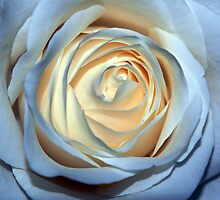 Two-Tone Rose by Mark Kopczewski