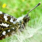 Orange Tip by Luci Cadman