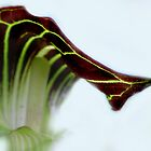Purple and Green Jack-N-the-Pulpit by Carla Wick/Jandelle Petters