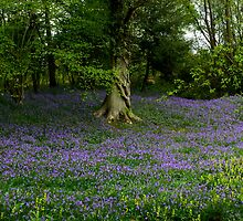 Forest Bluebells by mikebov