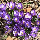 Crocuses by Stormoak Lonewind