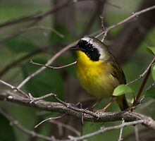 Common Yellow Throat Warbler 3 by John Absher