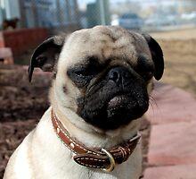 Grumpy Pug by Ryann Bishop