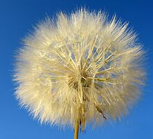 A dandelion against a blew sky by lilalila