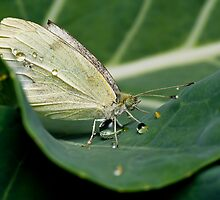 Cabbage White by Colin12