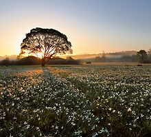 Morning on narcissus field by Mikhail Palinchak