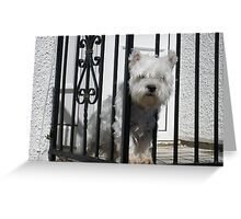 Westie on look out. Greeting Card