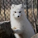 BABY ARCTIC FOX by Larry Trupp