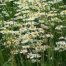 Daisies - wild flowers in a field! by Ruth Lambert