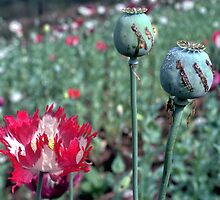 Opium by John Spies