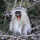 Monkey Business- Vervet Monkey by Kimberley Mazzoni