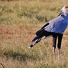 Secretary Bird by Kimberley Mazzoni