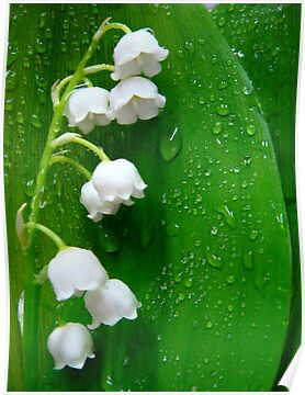 Lily of the valley by Eugenio