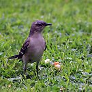 *Northern Mockingbird- Mimus polyglottos* by Van Coleman