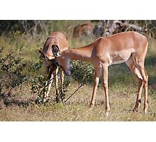 Young Impalas Photographic Print