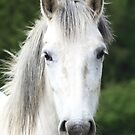 white horse by wendywoo1972