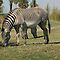two headed zebra.Busch Gardens FL by Margaret  Shark