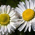 Daisies (Bellis perennis) by Steve Chilton