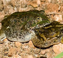 It's a dog-eat-dog.... sorry, frog-eat-frog world out there by Nephrurus