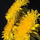 Three Dandelions (Taraxacum officinale) by Steve Chilton