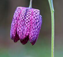 Fritillary (Fritillaria meleagris) by Steve Chilton