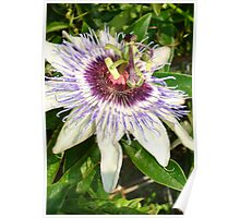 Passiflora Close Up With Garden Background Poster
